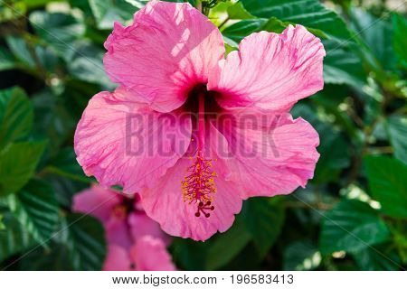 Beautiful delicate blooming pink hibiscus flower on bush green leaves sunlight close up texture wallpaper