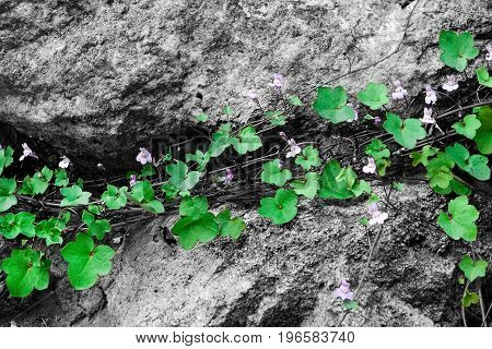 A plant with flowers and green leaves grows on a stone. The concept of survival and life force