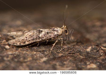 Blastobasis adustella moth on bark. British moth in the family Blastobasidae attracted to light in Bath Somerset UK