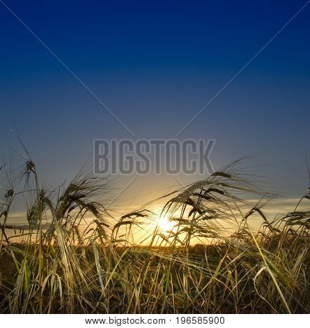 Close up of wheat blowing in the breeze as the sun sets