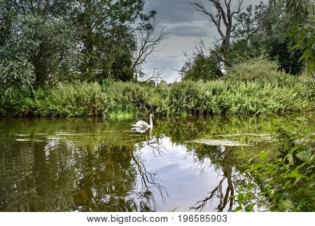 White swan swinging on a still river with storm clouds over head