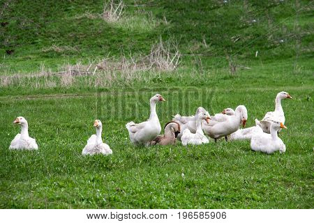 Flock of geese grazing on grass in spring field.