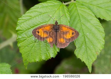Gatekeeper Butterfly (pyronia Tithonus) Perched On Plant
