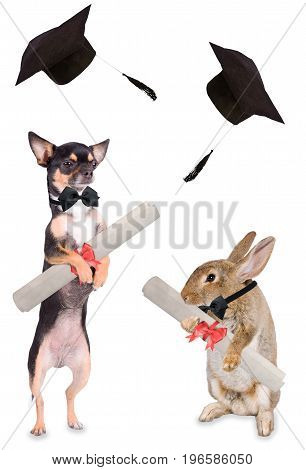 Cute dog chihuahua and cute bunny has graduated and has a certificate between legs