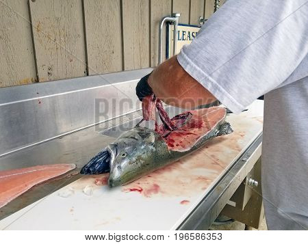 man cleaning king salmon at fish cleaning station