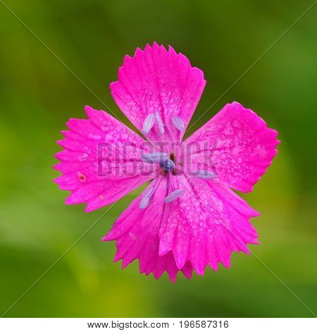pink carnation on the meadow in summer