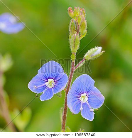 beautiful blue flowers on field in summer