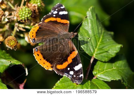 Red Admiral Butterfly (vanessa Atalanta) Perched On A Leaf