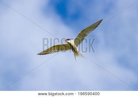 Common Tern (sterna Hirundo) Flying Against A Blue Sky