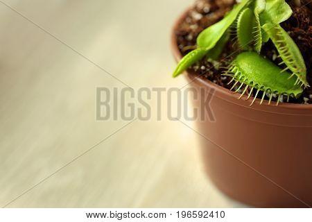 Dionaea muscipula in a pot on windowsill on light background