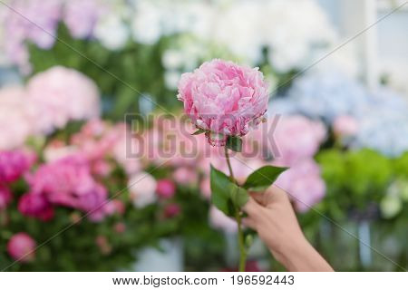 Female hand with beautiful peony and blurred flower shop on background