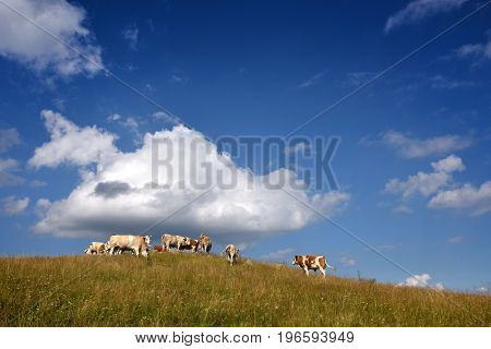 Beautiful rural landscape with vast green field and a herd of cows pasturing