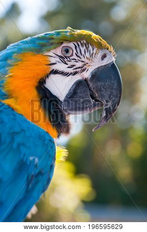 blue gold macaw parrot bird wild Brazil color