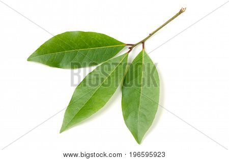 Fresh laurel leaf isolated on white background.