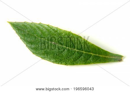 leaf of loquat or Eriobotrya japonica isolated on white background.