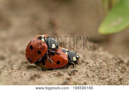 Lady Beetle Mating Multicoloured Asian Ladybirds Ladybugs Harmonia Axyridis The Process Of Mating La