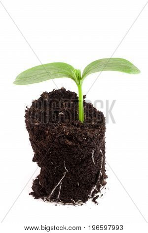 Cucumber seedling in soil isolated on white background.
