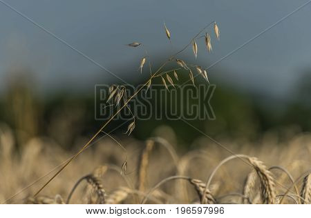 Summer day in wheat field near Encovany village in north Bohemia