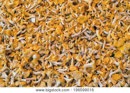 Many chantarelles  mushrooms on a market stall