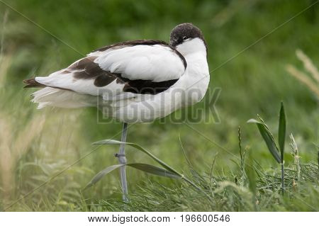 Pied avocet (Recurvirostra avosetta) standing with head tucked. Large black and white wader in the avocet and stilt family Recurvirostridae