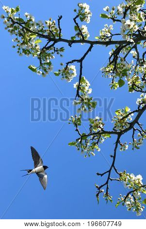 Cherry blossom in full bloom with flying barn swallow