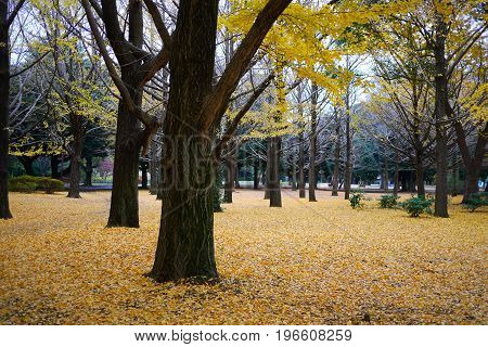 yellow leaves on ground with yellow tree in a park in autumn Japan