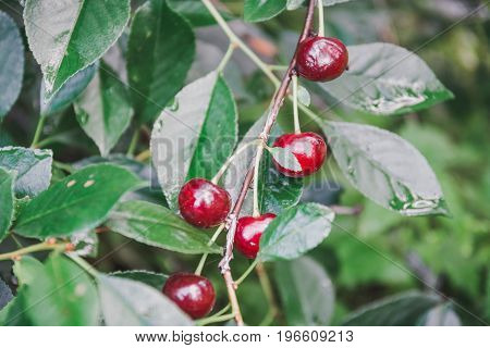Sweet Cherry On A Bush. Ripe Cherry. Ripe Sweet Cherry.
