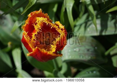 Closeup of a Beautiful Red and Yellow Jagged-Edged Tulip