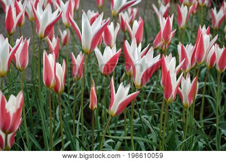 Colorful Spring Bi-Colored Pink and White Tulips