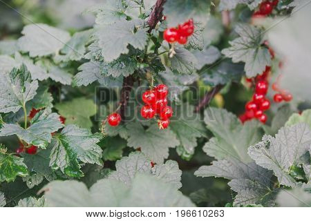Red Currant. Currant On A Bush.