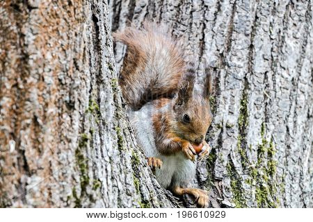 Young Red Squirrel Sitting On Tree Trunk And Eating Nut