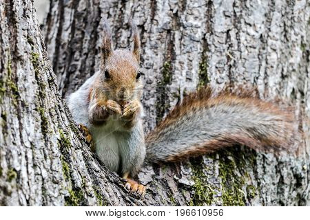 Funny Squirrel Sitting On Tree Trunk And Holding Nut In Paws