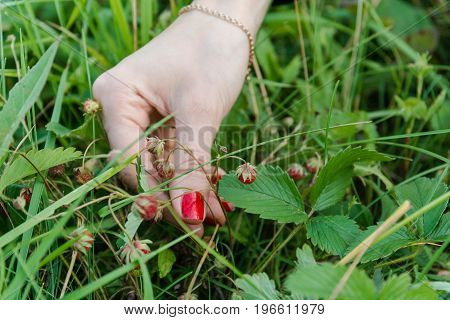 To Gather Strawberry. The Woman Picks Ripe Berry.
