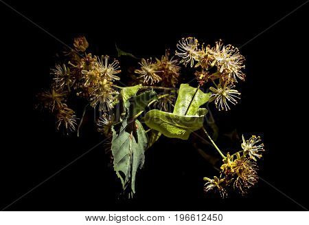 Blossoming Tilia flowers on a black background