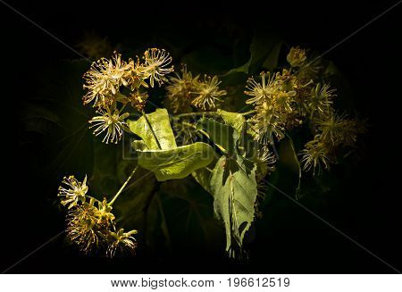 Blossoming Tilia flowers on black background< selective focus