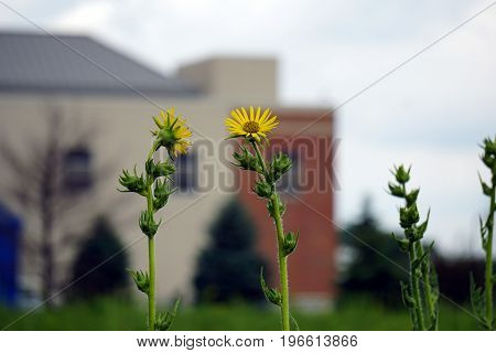 Compass plants (Silphium laciniatum) bloom in a field in Plainfield, Illinois during June.
