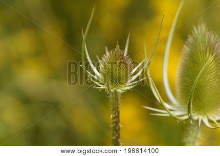 Inflorescence of a wild teasel Dipsacus fullonum.