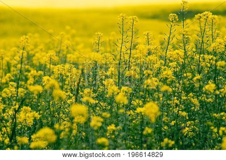 Closeup on blossom canola or colza flowers field selective focus