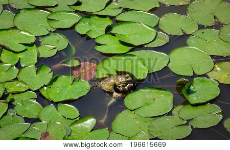 Frogs On Waterlily Pond