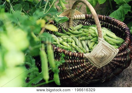 Harvest of green fresh peas picking in basket . Green pea pods on agricultural field. Gardening background with green plants .