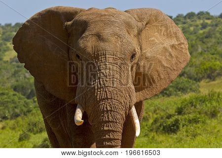 Large African male elephant portrait of its head and tusks in bright sunshine