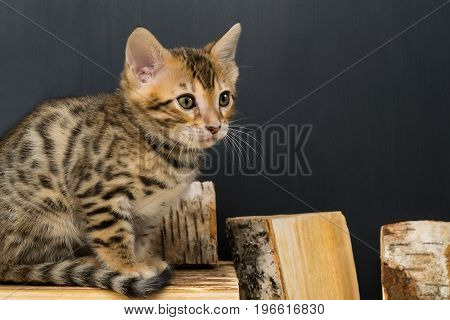 Bengali striped kitten sits on pieces of birch wood on a dark background