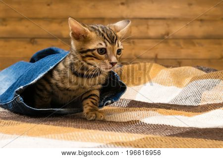 Bengal kitten hid in the pants of blue jeans against the background of a wooden wall