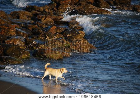 Golden retriever paddling in the sea Mijas Costa Malaga Province Andalusia Spain Western Europe.