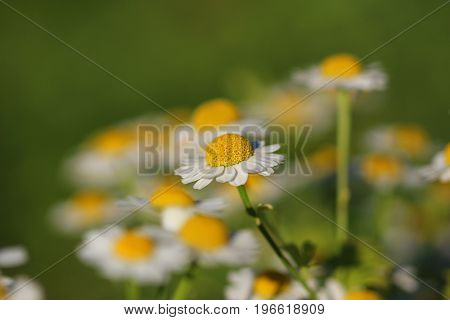 Delicate White Camomiles on a green background