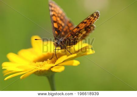 Yellow marigold flower and butterfly on a green background