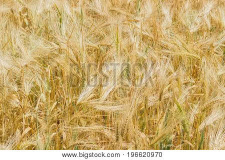 Background of a fragment of the field with ripening barley at summer day