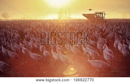 Feeding of the cranes at sunrise in the national Park Agamon of Hula in Israel