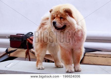 the dog breed chow chow a close-up