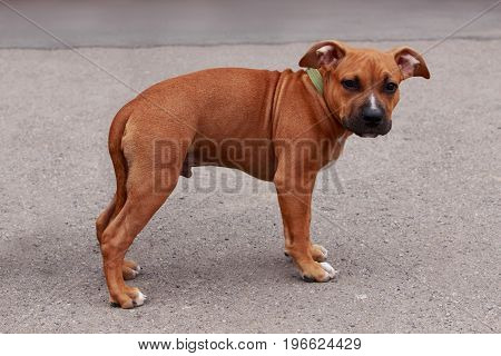 puppy breed American Staffordshire Terrier on a gray background